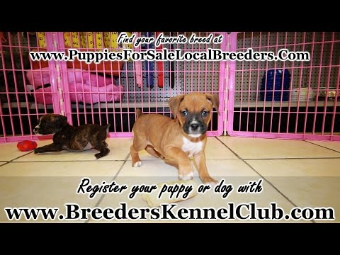 Boxer, Puppies For Sale, In Winston-Salem, County, North Carolina, NC, 19Breeders, Fayetteville