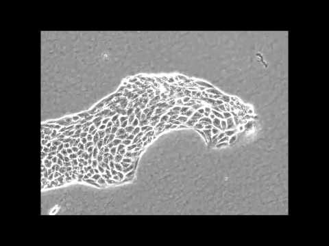 Scientific Reports : Leader cells regulate collective cell migration via Rac activation...