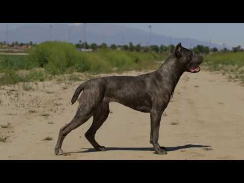 CANE CORSO AND BELGIAN MALINOIS - WORKING SHOW DOGS