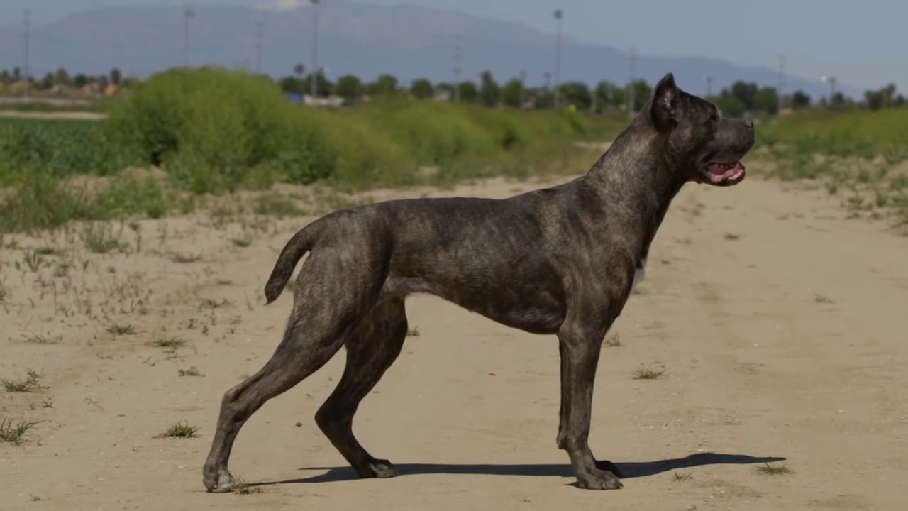 Cane Corso Versus Belgian Malinois Working Dogs Youtube