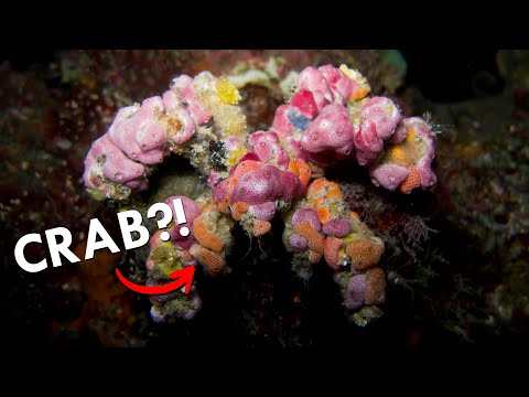 Decorator Crabs: Fashionistas of the Sea