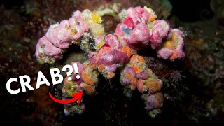 Decorator Crabs: Fashionistas of the Sea