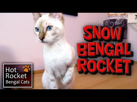 A new cat in the home – introducing Snow Bengal kitten Rocket