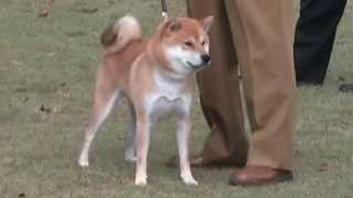信玄号小型雄部壮犬組で2回目の壮犬賞受賞.
