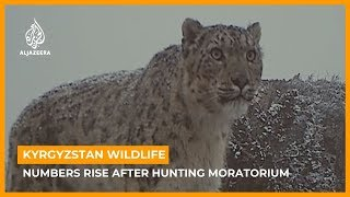 Kyrgyzstan wildlife bounces back after hunting moratorium