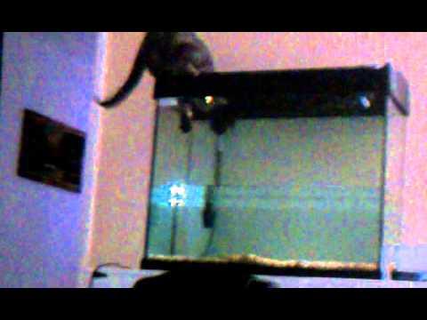 Cat Falls Into Fish Tank