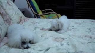 Dalila (bichon Frisé) Vs Jack (poodle)