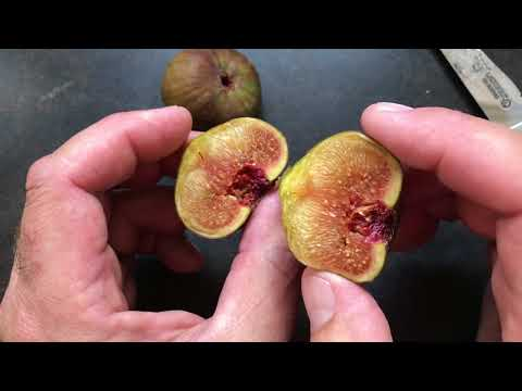 french fig farm: Calliope's Red Greek