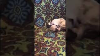 Fight club - siamese kittens playing