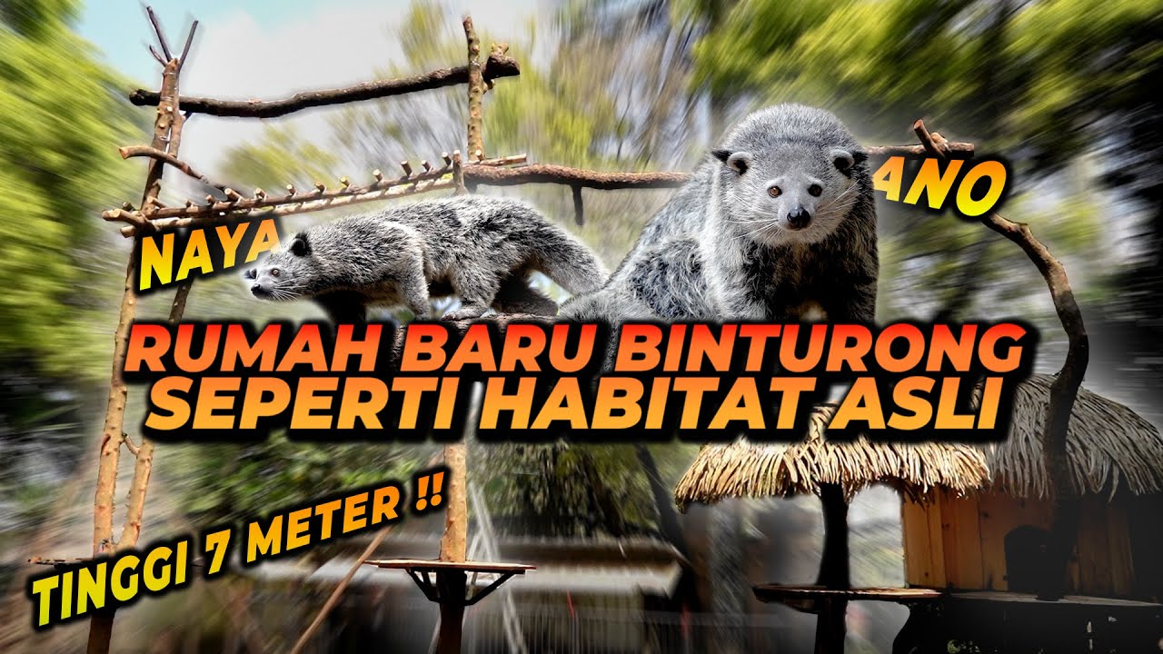 REVIEW RUMAH BARU BINTURONG SETINGGI 7 METER !! NAYA LANGSUNG NAIK KE PALING ATAS !!