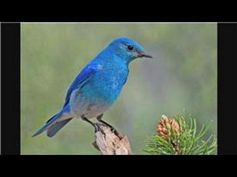 Bluebirds : Attracting Mountain Bluebirds