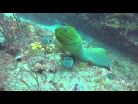 A Very Curious and Playful Green Moray Eel