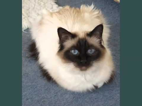 Birman Seal Point | Picture Ideas Of Cats