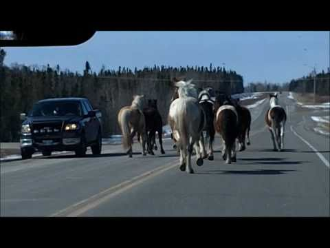 Horses on Highway north of Thompson, Manitoba (Raw Video)