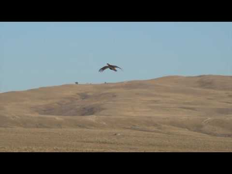Falconry: Grouse Hawking with a Gyrfalcon