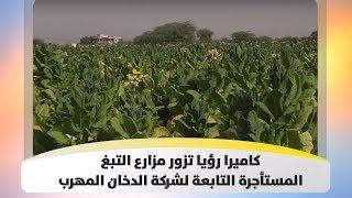 كاميرا رؤيا تزور مزارع التبغ المستأجرة التابعة لشركة الدخان المهرب