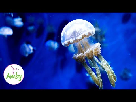 Jellyfish Aquarium For Relaxation - Sleep Relax Meditation Music - Screensaver Spotted Jellyfish