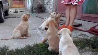 """Дрессировка щенков лабрадора 1.5 мес.Команда""""Сидеть""""Training.Odessa."""