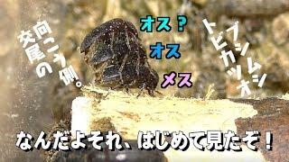 【閲覧注意】害虫飼育4ヶ月、予測不能な動きが素晴らしい。【トビカツオブシムシ】 thumbnail