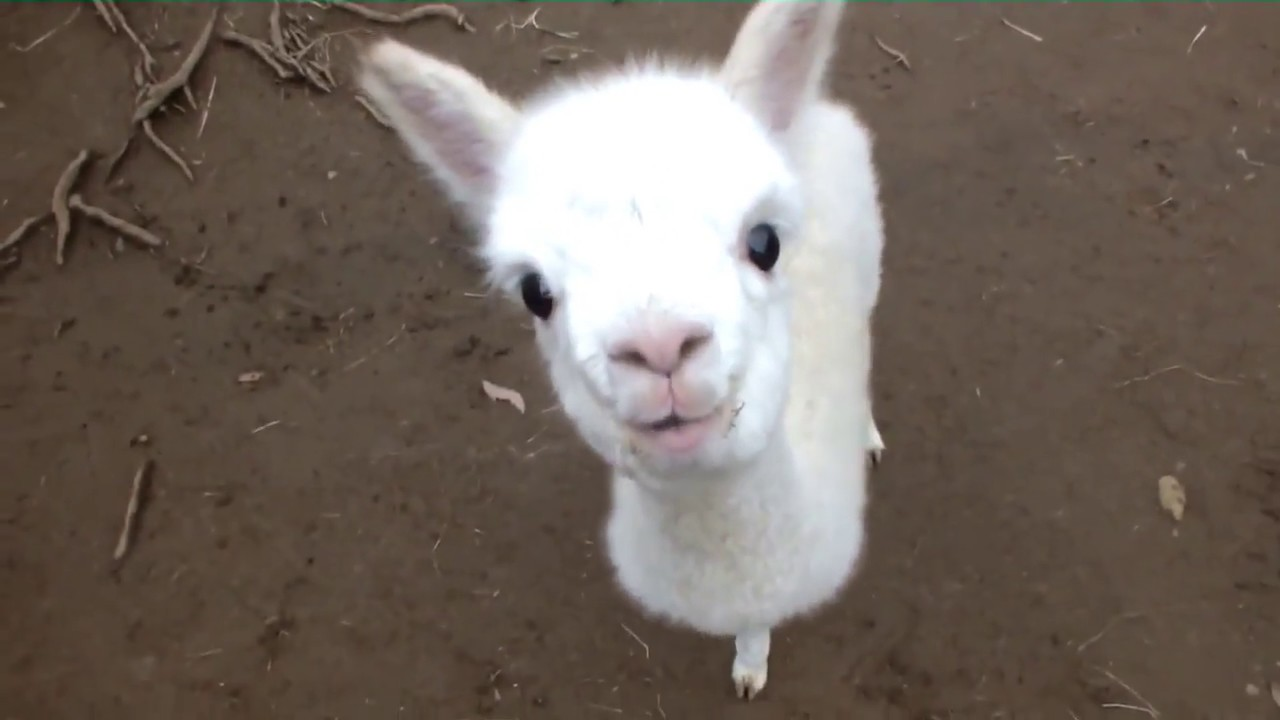 ❤ Cute and Adorable Baby Alpacas ❤ - YouTube