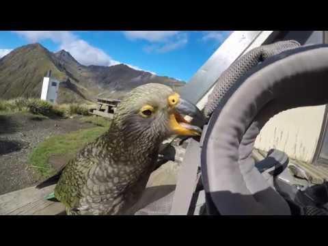 Kea – New Zealand Mountain Parrots