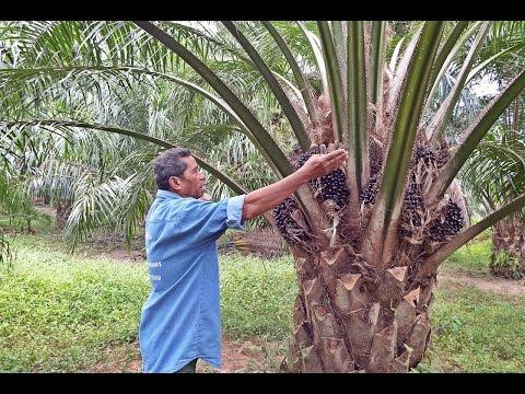 เก็บทะลายปาล์มอย่างถูกวิธี ต้นปาล์มให้ผลผลิตนาน