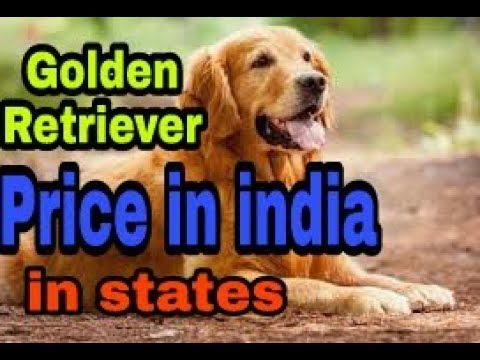 Golden Retriever Price In India And In States In Hindi Dogs