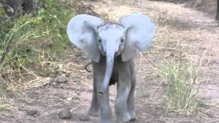 Elephant Calf Charging thumbnail