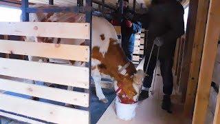 Помещение на 5 голов🐮 молочного КРС в нашем фермерском хозяйстве.Привязное содержание коров.