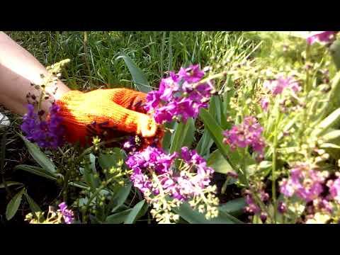 красивейший Коровяк - редкий нежный цветок на наших весенних клумбах.