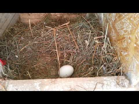 Вопрос: Две курицы сидят на одном гнезде поочереди. Что с этим делать?