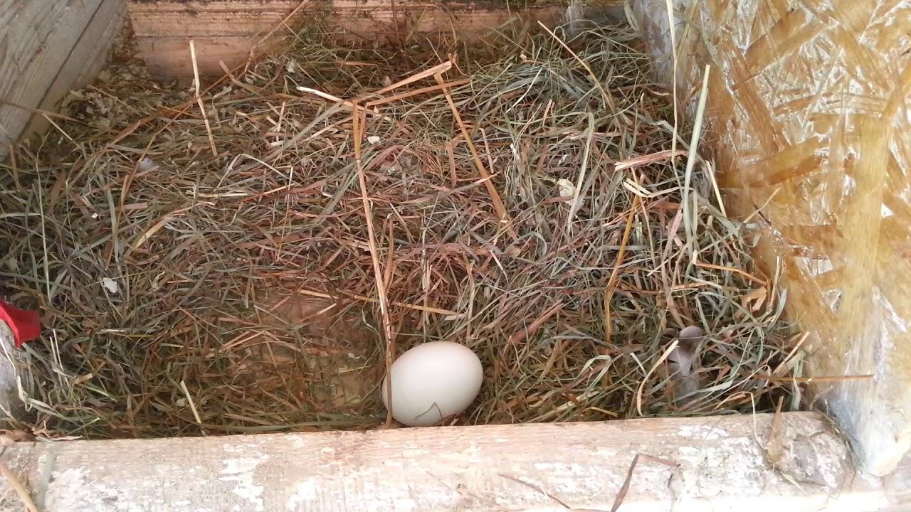 как сделать гнездо для индюшки фото многообразие