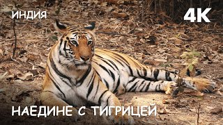 Мир Приключений - Наедине с тигрицей джунгли Бандхавгарха Индия 4К. Bengal tiger. Bandhavgarh. India