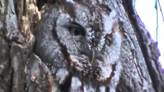 SCREECH OWL MAKING SOUNDS