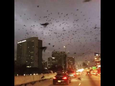 Huge Flock of Birds Take Over City