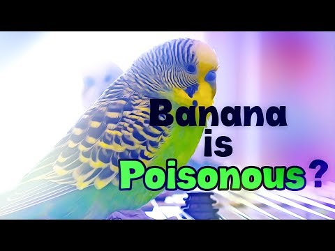 Banana is Poisonous for Budgies!? | Budgie Questions & Answers