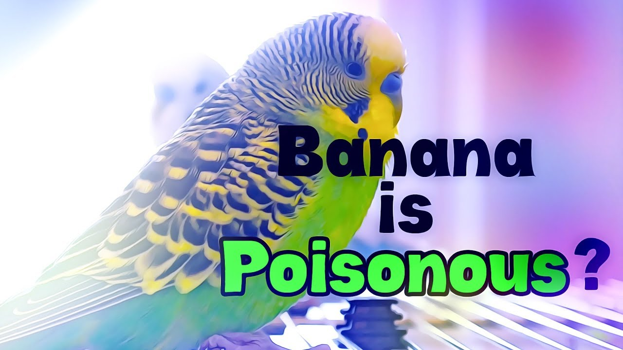 Banana Is Poisonous For Budgies Budgie Questions Answers