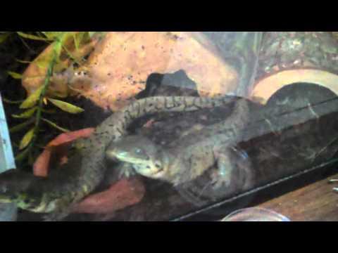 Tiger salamander setup/feeding