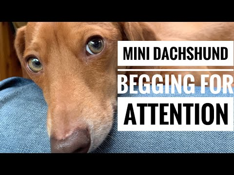Dog begging for attention and cuddles | Leo the Mini Dachshund