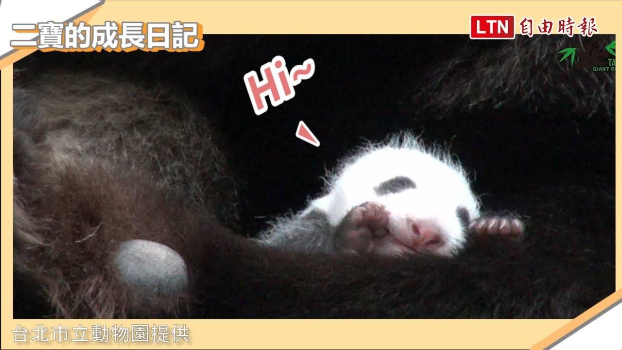 大貓熊二寶妹返回媽媽懷抱 保育員為這件事集體趴地...(台北市立動物園提供)