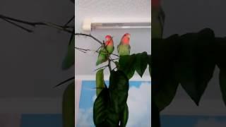 Попугаи неразлучники. Долгожданная свобода от клетки)))