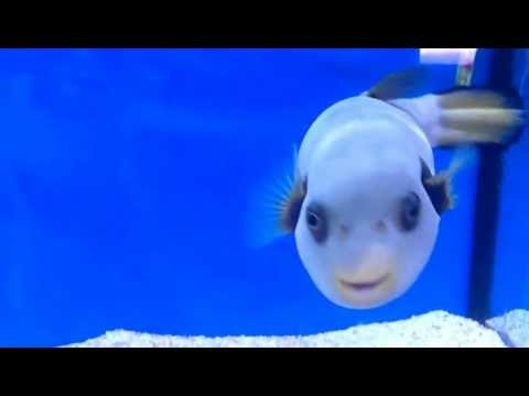 Cute Marine Puffer Fish - For sale - YouTube
