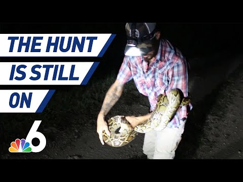 The Hunt Is Still On: Two Years After Florida Declared Open Season On Pythons