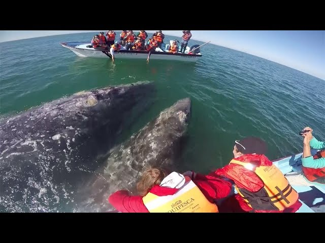 Whale And Calf Plays With Boat