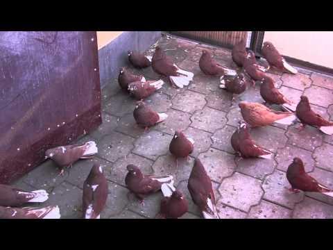 видео: голуби в енакиево, летные, николаевские 23,02,2014 Олег лепа