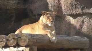 Лев. Дикие животные Африки. Видео для детей.
