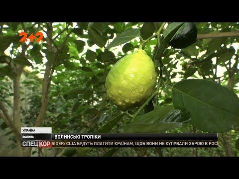 СПЕЦКОР | Новини 2+2: На Волині Володимир Болотін вирощує лимони, мандарини і апельсини