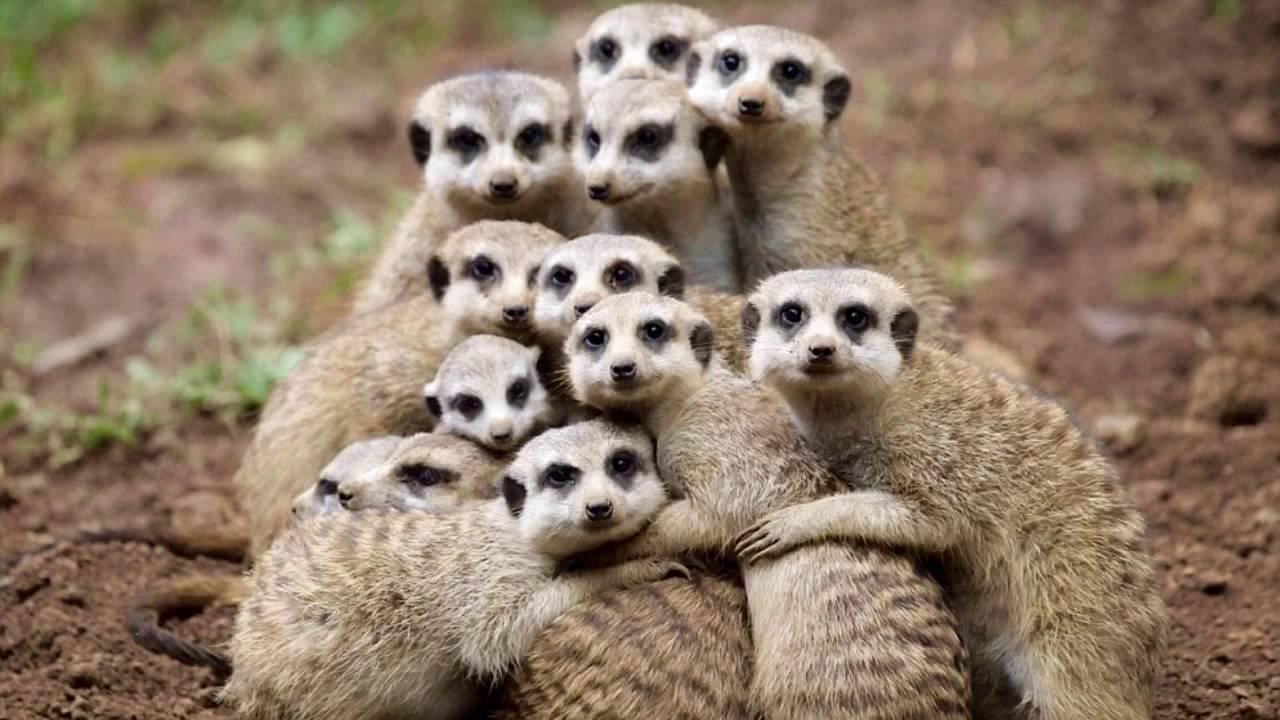 10 Weird Facts About Meerkats/ Vid. 1 - YouTube