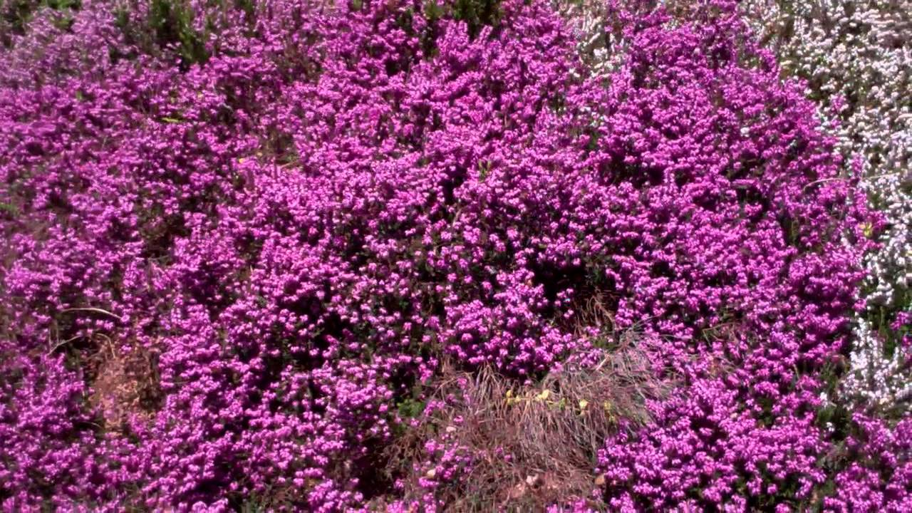 Purple And White Heather Perthshire Scotland Youtube