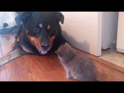 rottweiler and kitten become friends